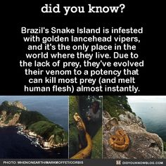 The Brazilian government forbids you from landing on Snake Island because there's about 1-5 golden lanceheads per square meter. But people do it anyway to attempt catching them and selling them on the...