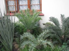 Encephalartos Trispinosus: South African cycad that is blue and thorny. it is valued at R70 a cm
