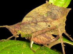 Leaf mimicking katydid, via Flickr.