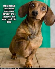 wat u meen, i can no have more noms. dere dey are. i seez dem. see?wat u meen, i can no have more noms. dere dey are. i seez dem. see? Dachshund Funny, Dachshund Love, Funny Dogs, Daschund, Funny Animal Pictures, Funny Animals, Cute Animals, Cute Puppies, Cute Dogs
