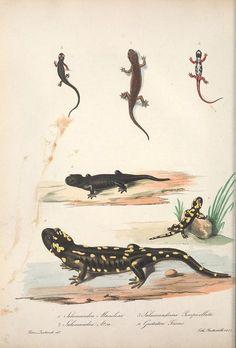 t.2 (1832-1841) - Iconografia della fauna italica : - Biodiversity Heritage Library