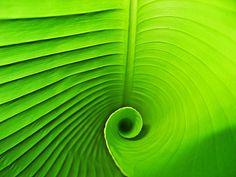 Banana Leaf Spiral / by Daniel Schwabe