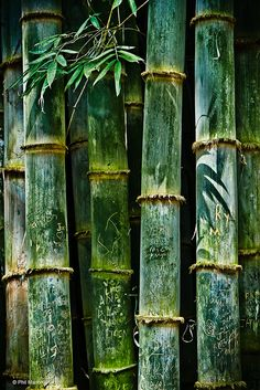 "chasingrainbowsforever: ""Bamboo - Alajuela, Costa Rica"" ~ Photography by Phil Marion on Flick ✨ 🌸 🌹 ᘡℓvᘠ❤ﻸ Decoration Vitrine, Bamboo Art, Costa Rica, Shades Of Green, Green Colors, Colours, Mother Nature, Scenery, Brown Things"