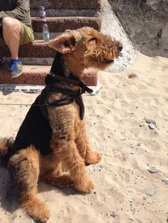~wind in my face~ <3 These kinda dogs <3 Airedale Terriers..unfortunatly don't have the kind of house / garden or money for a cutie like this one... :( But i'll keep on dreaming....