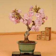 盆栽の専門店 花月園 (@shop_kagetuen) | Twitter