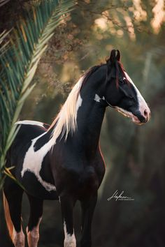 horse photography Marwari Hengst steht im Sonnenau - photography Beautiful Horse Pictures, Most Beautiful Horses, Animals Beautiful, Cute Animals, All The Pretty Horses, Marwari Horses, Friesian Horse, Andalusian Horse, Cute Horses