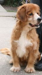 Buddy is an adoptable Golden Retriever Dog in Calverton, NY. Buddy is the last of the four dogs left that was brought to us from a case of neglect. His skin and fur were in very poor condition when he...