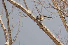 Blue Jay ©Steve Frye. Wild Bird Company - Boulder, CO, Saturday Morning Bird Walk in Boulder County - December 26, 2015.
