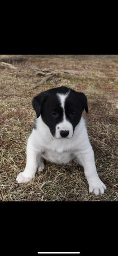 Copper - Bernese Mountain Dog Mix Puppy for Sale in Blairsville, PA | Lancaster Puppies Bernese Mountain Dog Mix, Mountain Dogs, Little Puppies, Puppies For Sale, Lancaster Puppies, Dog Mixes, Set Up An Appointment, Beautiful Little Girls, Labrador Retriever