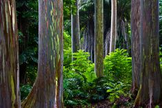 RAINBOW FOREST Hana Highway, Maui, Hawaii A surreal grove of Rainbow Eucalyptus trees glowing after morning rains. As the bark peels the trunks change color, nature doing its own paint-by-number