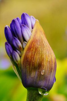 Photo about A purple flower just exploding out of the bud in macro. Image of flower, bokeh, close - 124353021 Beautiful Flowers Images, Flower Images, Bokeh, Purple Flowers, Bud, Google Search, Gem, Eyes, Knob
