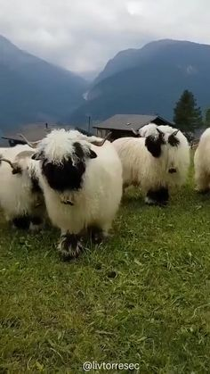 Mundo Animal, My Animal, Animals And Pets, Funny Animals, Black Faced Sheep, Fluffy Cows, Cute Sheep, Pet Rats, Cute Little Animals