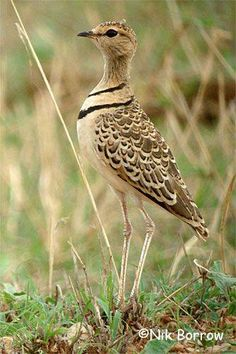 The double-banded courser (Rhinoptilus africanus), also known as the two-banded courser, is a species of bird in theGlareolidae family.