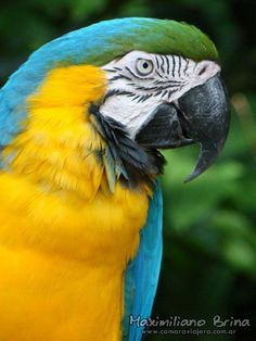 Blue-and-yellow Macaw #blueandyellow #macaws #birds