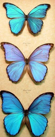 blue_morpho_collection_3.jpg (263×648)