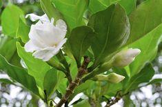 Very Important Recommendation on Gardenia Bonsai Care: The impressive gardenia… Outdoor Bonsai Tree, Outdoor Plants, Garden Plants, Bonsai Trees, Gardenia Care, Gardenia Bush, Florida Plants, Florida Gardening, Home Design