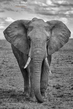 An Elephant walks straight to our vehicle giving us plenty of opportunities for great images in fabulous light. Image taken in the Mara North Conservancy in Kenya. Join me in 2016 on an upcoming Maasai Mara Photo Safari Elephant Facts, Elephant Artwork, Elephant Walk, Elephant Head, Elephant Love, Elephant Photography, Animal Photography, Elefante Tattoo, Elephant Black And White