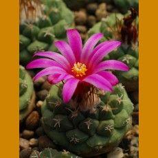 Strombocactus esperanzae