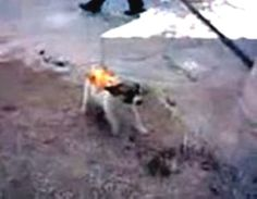A video of a horrible act of animal cruelty was found on Facebook. Several boys are seen near a building pouring gasoline on a small dog and then set the dog on fire. The dog starts to cry in pain and runs into the building. After about one minute of being on fire the dog goes silent. Info on the video: - The video was posted in a Facebook group in January 2011 and later removed. - Someone found the video on Facebook and posted it on YouTube asking for help. - The boys are speaking ...