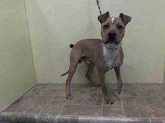 Manhattan Center    CAPONE - A1008543    MALE, BROWN / WHITE, PIT BULL MIX, 1 yr  STRAY - STRAY WAIT, NO HOLD  Reason STRAY   Intake condition INJ MINOR Intake Date 07/29/2014, From NY 11368, DueOut Date 08/01/2014  https://www.facebook.com/Urgentdeathrowdogs/photos/a.617938651552351.1073741868.152876678058553/847898891889658/?type=3&permPage=1