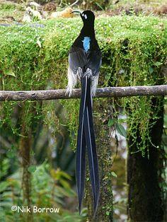 Brown Sicklebill-Papua New Guinea