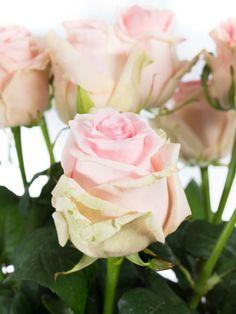 Eine lange Rose mit einem kräftig rosa farbenen Blütenherz und nach außen heller werdenden Blütenblättern. …