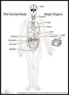 English worksheet: Internal Body Organs | Human Anatomy ...