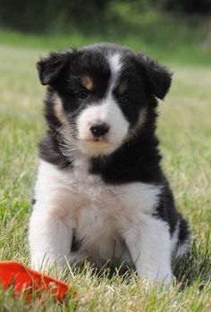 This is Shasta, she was born April 22, 2016 and is a Border Collie/Australian Shepherd cross.