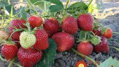 Rodia až do jesene a plody sú ako z obrázka: Návod od pestovateľsky, ako na super bohatú úrodu jahôd každý rok!