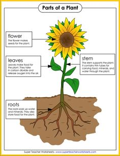 Check out all the great resources Super Teacher Worksheets has for teaching the parts of a plant. Hang this colorful poster in your classroom and let the learning begin! Science Worksheets, Science Lessons, Science For Kids, Science Activities, Science And Nature, Teacher Worksheets, Ecosystem Activities, Free Worksheets, Preschool Lessons