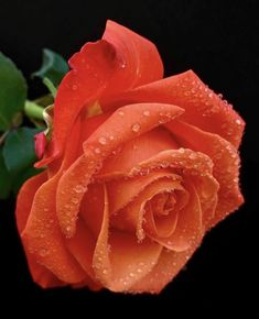 Beautiful Rose Flowers, Pretty Roses, Flowers Nature, Exotic Flowers, Red Flowers, Colorful Flowers, Love Wallpapers Romantic, Fragrant Roses, Orange Roses
