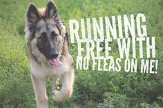 1000 Images About German Shepherd Things For My German