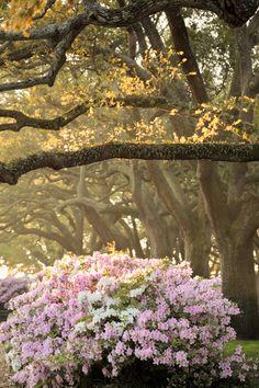 hueandeyephotography:  Azaleas in White Point Gardens, Charleston, SC © Doug Hickok All Rights Reserved More here… hue and eye