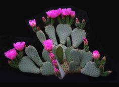 Opuntia humistrata  Griffiths 1916 (forma Anza-Borrego Desert State Park, California, U.S.A.) min.temp.(tested) <-25°C/<-13°F full sun, saturated pink-light purple flower, alkaline soil