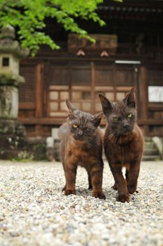 Two Japanese temple cats YOU WANNA TAKE OUT CATNAP WHERE? NOW? WE DON'T THINK SO