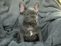 blue frenchiii Blue French Bulldog Puppies, Bulldog Puppies For Sale, Dogs And Puppies, French Bulldogs, Cute Creatures, Beautiful Creatures, Baby Animals, Cute Animals, Blue Frenchie