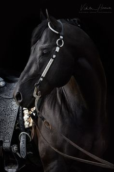Beautiful black stallion named Isaac.