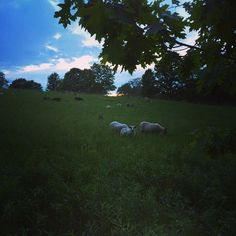 Just another evening check of the ewes & lambs. #icelandicsheep #sheep #farm #rotationalgrazing #lamb #pasture #sunset #ig_country