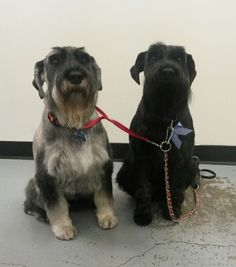 Bruno and Heidi standard Schnauzers