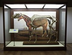 Lexington's skeleton at the National Museum of Natural History