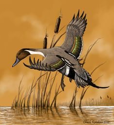 Perfect landing-Pintail Duck by ChuckRondeau on DeviantArt Flying Bird Drawing, Duck Drawing, Bird Drawings, Duck Pictures, Hunting Pictures, Fall Pictures, Pretty Birds, Beautiful Birds, Duck Hunting Tattoos