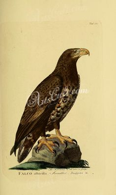birds-08172 White-tailed Eagle, 3 ArtsCult.com Artscult ArtsCult vintage printable public domain 300 dpi commercial use 1800s 1700s 1900s Victorian Edwardian art clipart royalty free digital download picture collection pack paintings scan high qulity illustration old books pages supplies collage wall decoration ornaments Graphic engravings lithographs century 18th 17th Pictorial fabric transfer scrapbooking Paper craft instant master