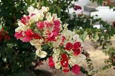 variegated bougainvilla- called Mary Palmer in India