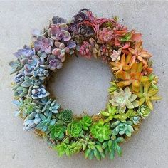 succulents rainbow succulent wreath growing succulents plants that are easy to grow and come in a variety of colors and textures create a little garden inbow succulent w. Growing Succulents, Cacti And Succulents, Planting Succulents, Planting Flowers, Cactus Plants, Succulent Gardening, Garden Plants, Indoor Plants, Succulent Planters