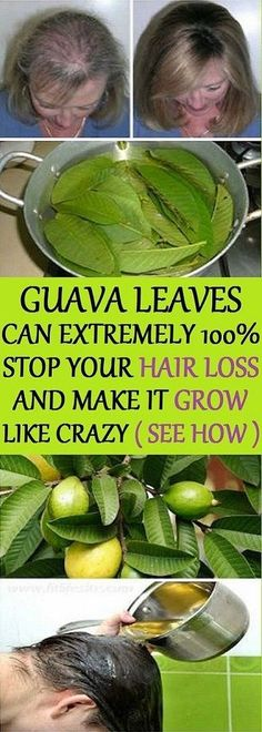 Remedies For Thicker Hair Hair – Guava leaves are a great remedy for hair loss. They contain vitamin B complex (pyridoxine, riboflavin, thiamine, pantothenic acid, folate and niacin) which stops the hair fall and promotes hair growth. Guava Benefits, Health Benefits, Natural Hair Care, Natural Hair Styles, Natural Shampoo, Guava Leaves, Stop Hair Loss, Hair Loss Remedies, Hair Care Tips