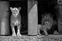 #leoni #lions #lionfamily # #animals #nature #fotografia #photo #animalsphoto