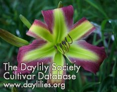 Daylily Cultivar - Pea Green with Envy Cottage Gardens, Day Lilies, Heavenly, Envy, September, Purple, Board, Green, Flowers