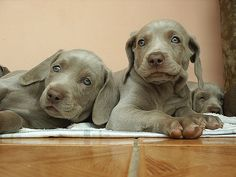 Cute puppy and dog - http://www.1pic4u.com/blog/2014/11/20/suesse-hundebabys-148/