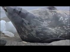 Weddell seals in Antarctica - Deep into the Wild - BBC - YouTube
