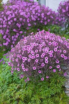 Geranium maderense (AGM) is a robust but short-lived evergreen perennial or biennial with attractively dissected leaves and large panicles of purplish-pink flowers to 4cm across with dark centres.  The flowers are borne in Spring, Summer and Winter.  It will make 1m-1.5m in height and 50cm-1m spread.  It likes full sun, partial shade or full shade in well-drained soil.